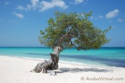 DiviDivi Tree at Eagle Beach Aruba